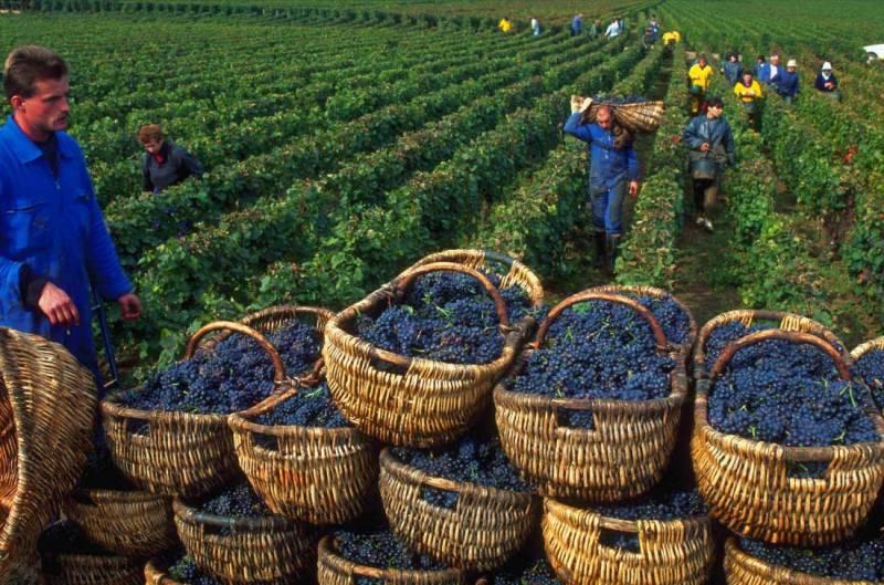 Бизнес план выращивания винограда на территории 500 га и производства вина