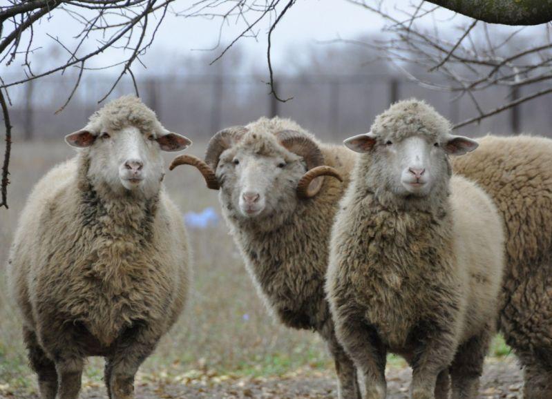 Бизнес план племенное овцеводство