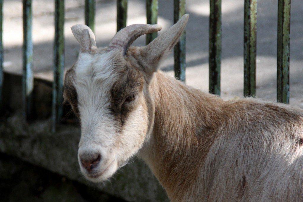 Бизнес план разведения уток и коз