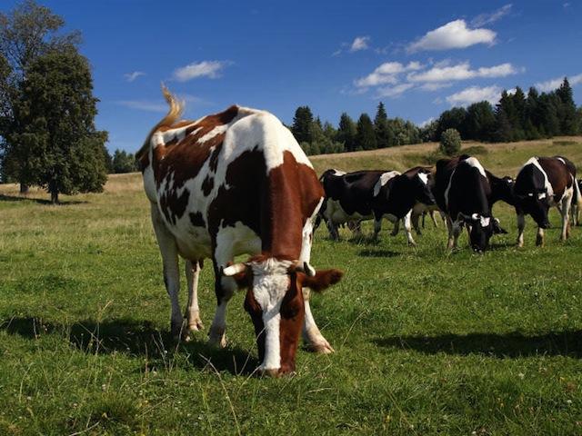 Бизнес план содержания коров и производства молока и творога