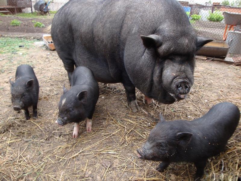Бизнес план свинофермы на 140 голов