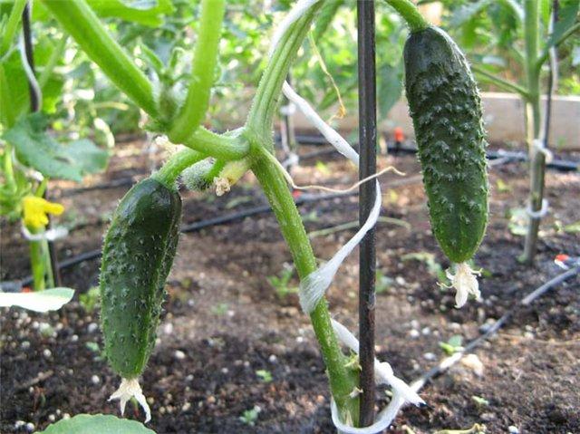 Бизнес план тепличного хозяйства по выращиванию томатов и огурцов