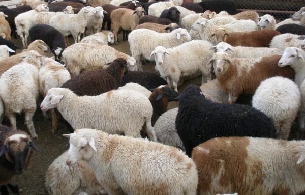 Бизнес план выращивания и откорма КРС и овец