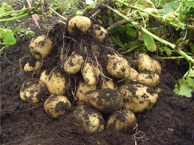 Бизнес план выращивания продовольственного картофеля
