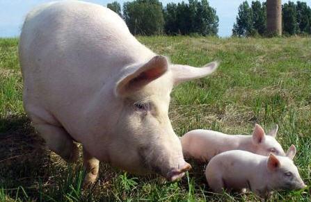 Бизнес план выращивания свиней для последующей реализации мяса и поголовья