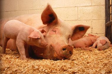 Бизнес план выращивания свиней для последующей реализации мяса, поголовья и субпродуктов