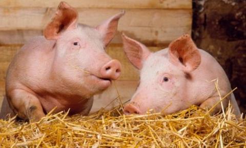 Бизнес план выращивания свиней в личном подсобном хозяйстве