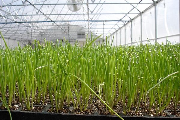 Бизнес план выращивание лука на перо