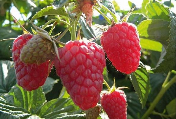 Бизнес план выращивания малины