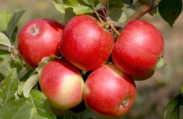 Бизнес план по выращиванию яблок